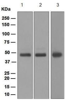 Western blot - Anti-MK2 antibody [EPR5357] (ab133279)