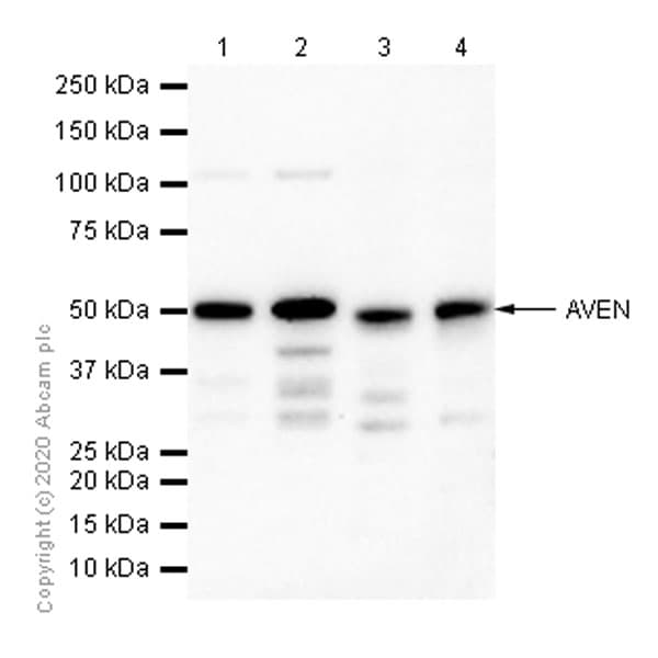Western blot - Anti-AVEN antibody [EPR4720] (ab133285)