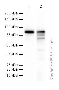 Western blot - Anti-EWSR1/EWS antibody [EPR4647] (ab133288)