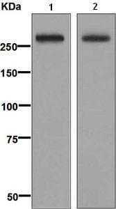 Western blot - Anti-CD35 antibody [EPR6601] (ab133293)