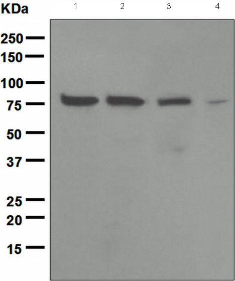 Western blot - Anti-Ezrin antibody [EPR803] (ab133297)