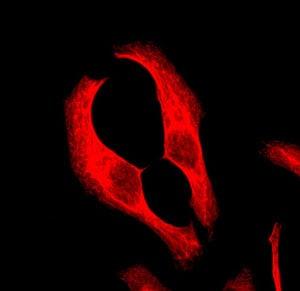 Immunocytochemistry/ Immunofluorescence - Anti-Cytokeratin 18 antibody [EPR1611] (ab133302)