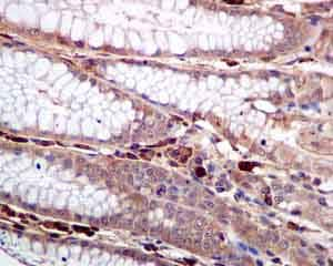 Immunohistochemistry (Formalin/PFA-fixed paraffin-embedded sections) - Anti-COX1 / Cyclooxygenase 1 antibody [EPR5867] (ab133319)