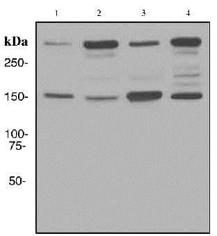 Western blot - Anti-NEAS antibody [EPR3830-43] (ab133320)