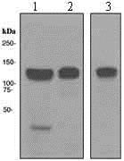 Western blot - Anti-MCM2 antibody [EPR3727] (ab133325)