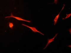 Immunocytochemistry/ Immunofluorescence - Anti-ISG15 antibody [EPR3446] (ab133346)