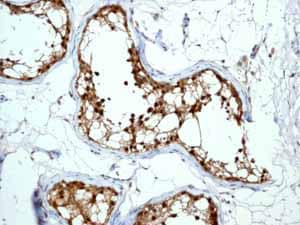 Immunohistochemistry (Formalin/PFA-fixed paraffin-embedded sections) - Anti-Peroxiredoxin 6 antibody [EPR3754] (ab133348)