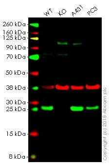 Western blot - Anti-Peroxiredoxin 6 antibody [EPR3754] (ab133348)