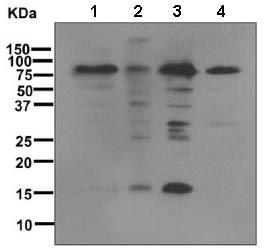 Western blot - Anti-Sumo 1 antibody [EP298] (ab133352)