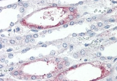 Immunohistochemistry (Formalin/PFA-fixed paraffin-embedded sections) - Anti-Polymeric immunoglobulin receptor/PIGR antibody (ab133391)