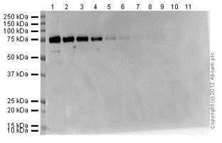 Western Blot 1/25000 primary antibody, 1/5000 secondary antibody, 10 second exposure