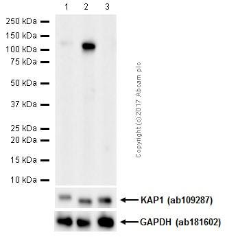 Western blot - Anti-KAP1 (phospho S824) antibody [EPR5248] (ab133440)