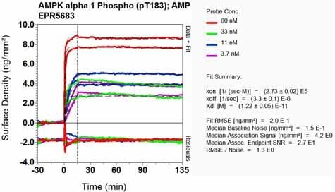 Other - Anti-AMPK alpha 1 (phospho T183) + AMPK alpha 2 (phospho T172) antibody [EPR5683] (ab133448)