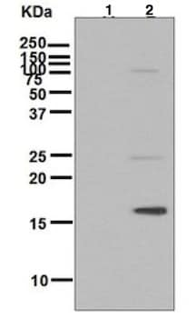 Western blot - Anti-Histone H3 (phospho T11) antibody [EPR5930] (ab133457)