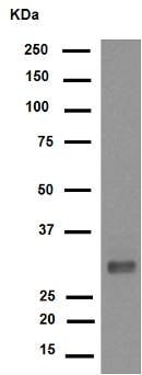 Western blot - Anti-CDK1+CDK2+CDK3+CDK5 (phospho Y15) antibody [EPR7875] (ab133463)