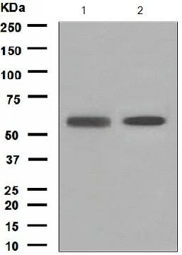 Western blot - Anti-PIST antibody [EPR4080(2)] (ab133472)