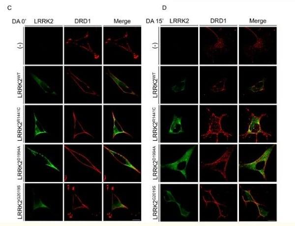 Immunocytochemistry/ Immunofluorescence - Anti-LRRK2 antibody [MJFF2 (c41-2)] (ab133474)
