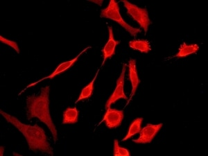 Immunocytochemistry/ Immunofluorescence - Anti-Peroxiredoxin 2/PRP antibody [EPR5155] (ab133481)