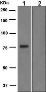 Western blot - Anti-FLI1 antibody [EPR4646] (ab133485)