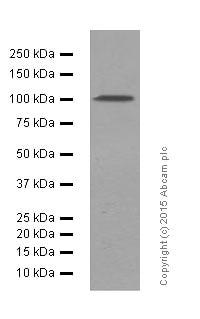 Western blot - Anti-GAB1 antibody [EPR375] (ab133486)