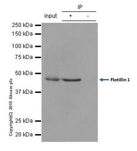 Immunoprecipitation - Anti-Flotillin 1 antibody [EPR6041] (ab133497)