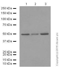 Western blot - Anti-Flotillin 1 antibody [EPR6041] (ab133497)