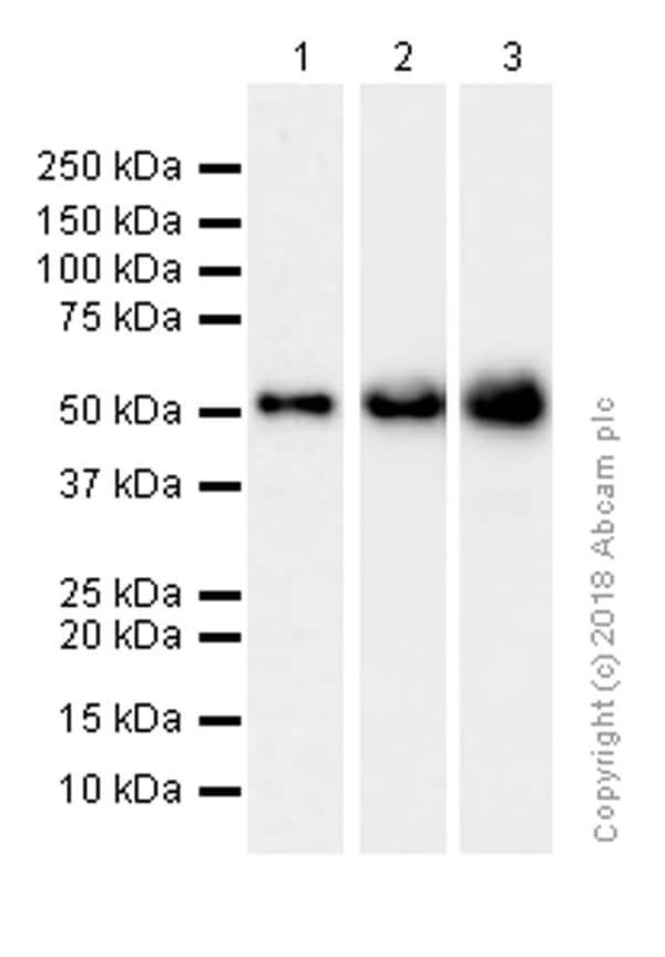 Western blot - Anti-LSP1 antibody [EPR5997] (ab133506)