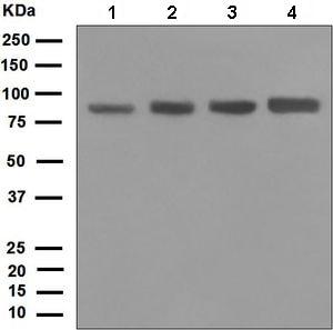 Western blot - Anti-DDX50 antibody [EPR5272] (ab133507)
