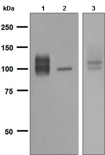 Western blot - Anti-Amyloid Precursor Protein antibody [EPR5118] (ab133509)