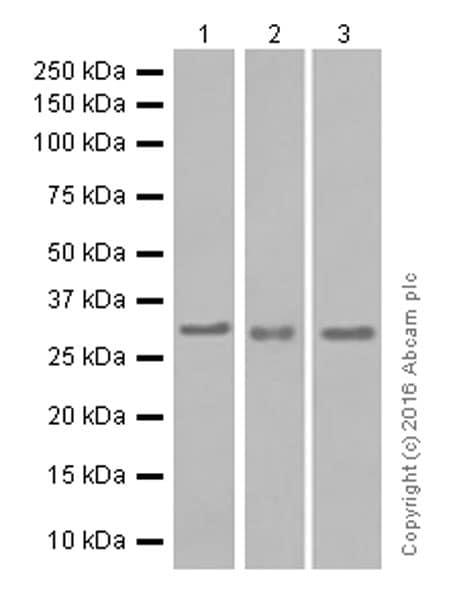 Western blot - Anti-NEK7 antibody [EPR4900] (ab133514)
