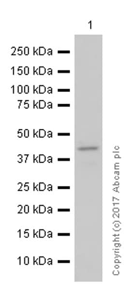 Western blot - Anti-HPD antibody [EPR5297] (ab133515)