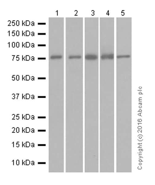 Western blot - Anti-ATG7 antibody [EPR6251] (ab133528)