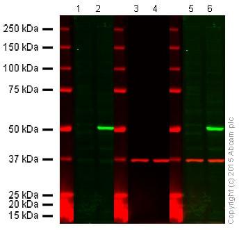 Western blot - Anti-PTEN antibody [EPR4408-76] (ab133532)