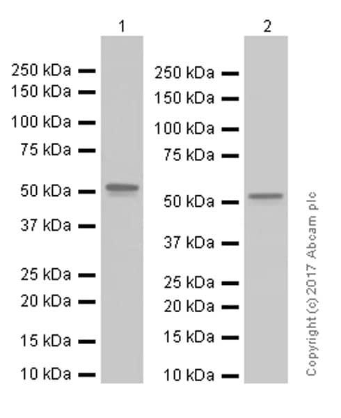 Western blot - Anti-TEF1/TEAD-1 antibody [EPR3967(2)] (ab133533)
