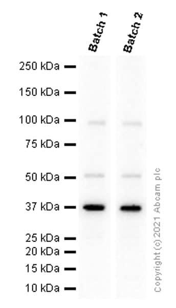 Western blot - Anti-Rad51 antibody [EPR4030(3)] (ab133534)