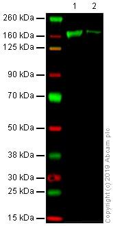 Western blot - Anti-Factor H antibody [EPR6225] (ab133536)