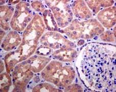 Immunohistochemistry (Formalin/PFA-fixed paraffin-embedded sections) - Anti-KIFAP3 antibody [EPR5600] (ab133537)