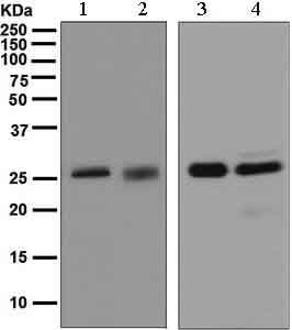 Western blot - Anti-14-3-3 antibody [EPR5872] (ab133538)