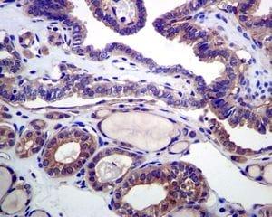 Immunohistochemistry (Formalin/PFA-fixed paraffin-embedded sections) - Anti-HDAC6 antibody [EPR6159] (ab133541)
