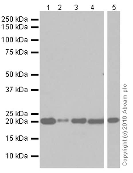 Western blot - Anti-Dihydrofolate reductase (DHFR) antibody [EPR5284] (ab133546)