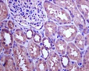 Immunohistochemistry (Formalin/PFA-fixed paraffin-embedded sections) - Anti-CSN7b antibody [EPR6464] (ab133548)