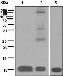 Western blot - Anti-S100P antibody [EPR6143] (ab133554)