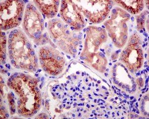 Immunohistochemistry (Formalin/PFA-fixed paraffin-embedded sections) - Anti-RBP4 antibody [EPR5879] (ab133559)