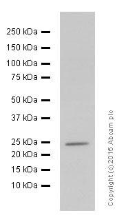 Western blot - Anti-Interferon gamma antibody [EPR1108] (ab133566)