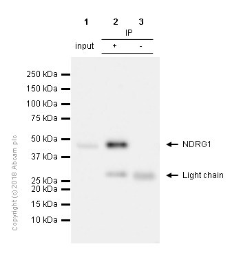 Immunoprecipitation - Anti-NDRG1 antibody [EPR5592] (ab133572)