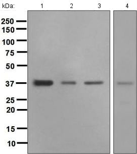 Western blot - Anti-Crk p38 antibody [EPR4984(2)] (ab133581)