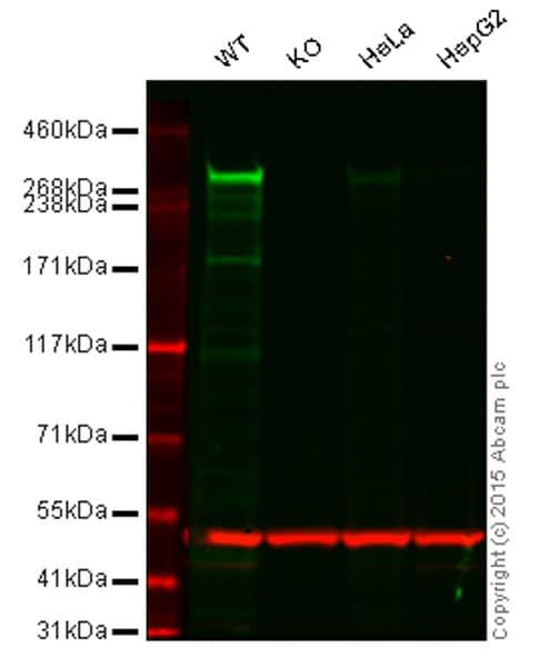 Western blot - Anti-CENPE antibody [EPR4542(2)] (ab133583)