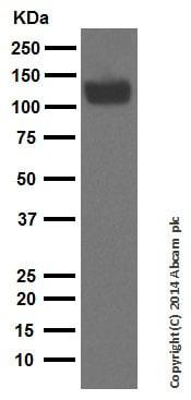 Western blot - Anti-Amyloid Precursor Protein antibody [EPR5119(2)] (ab133588)