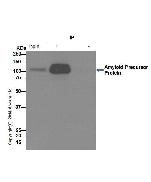 Immunoprecipitation - Anti-Amyloid Precursor Protein antibody [EPR5119(2)] (ab133588)