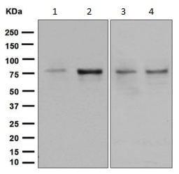 Western blot - Anti-SUN2 antibody [EPR6556] (ab133591)